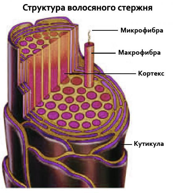 Структура стержня локона (схема)