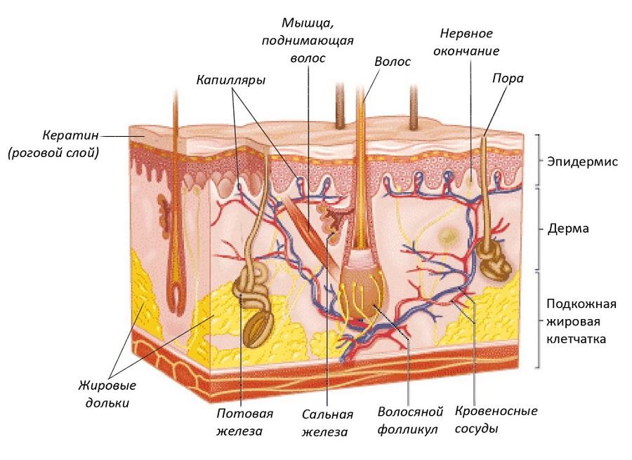 На схеме видно, как глубоко посажена волосяная луковица, питание которой в основной массе поступает именно по кровеносным сосудам из крови, а значит, зависит от нашего питания; только малая часть полезных веществ может дополнительно поступать через стержень от масок и прочих средств ухода