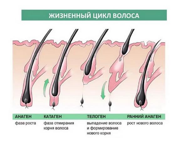 Фазы роста ресничек