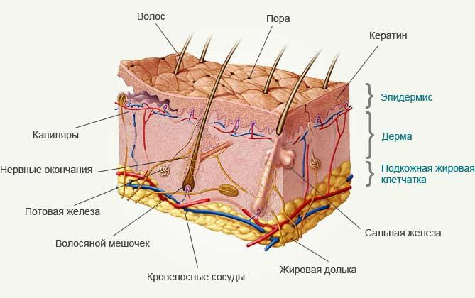Строение кожи лица в косметологии схема